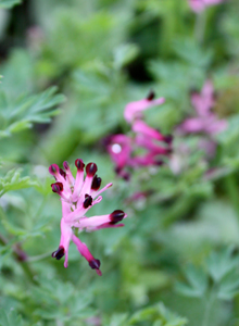 common_fumitory