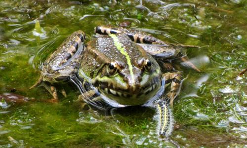 may-frog
