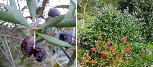 olive-bushes