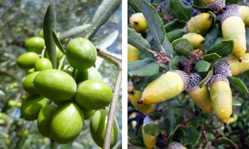 olivesacorns