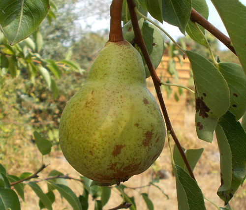 pear from young tree