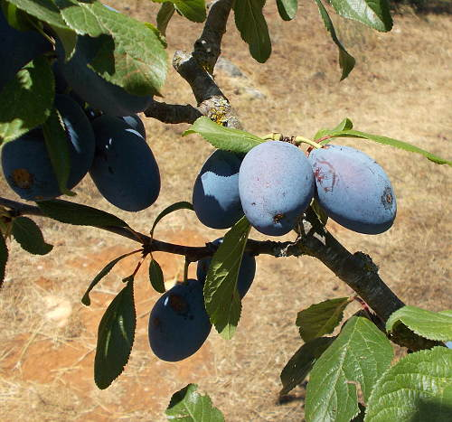 stanley plums