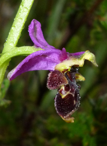 woodcock_ophrys_scolopax